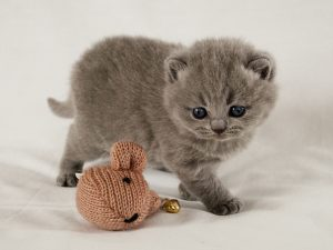 EL GATO SCOTTISH FOLD, MI MASCOTA FELINA IDEAL