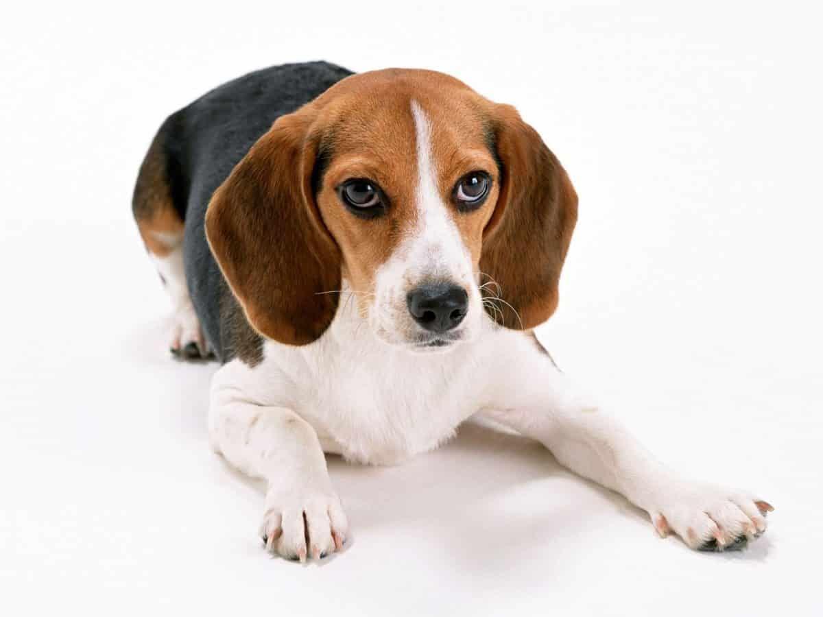 El Beagle es un perro juguetón