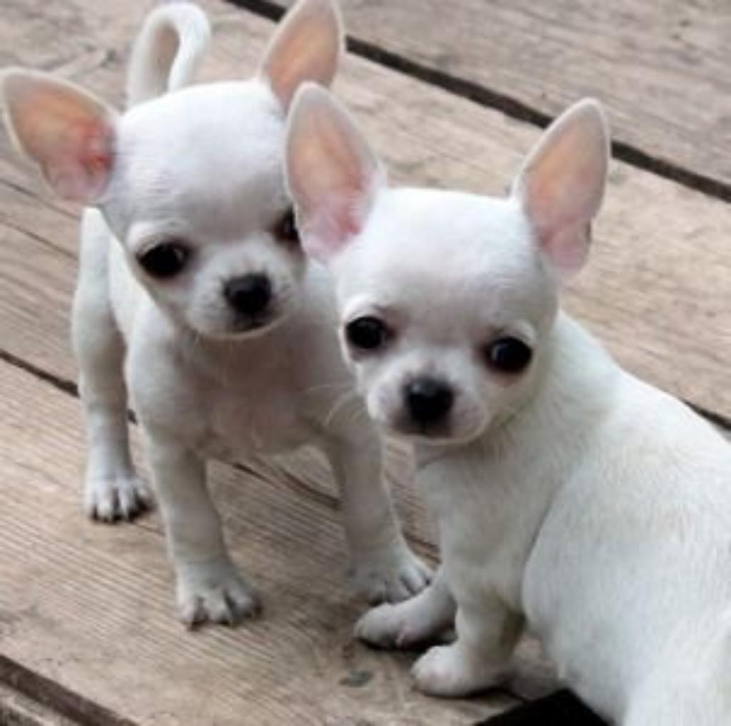 El Chihuahua es cachorrito muy tierno